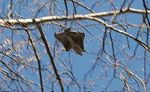 picture of flying squirrel
