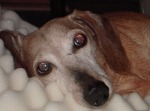 picture of Sam, 15 year old Dachshund