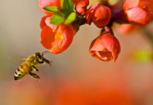 Picture of honey bee pollinating a flower.