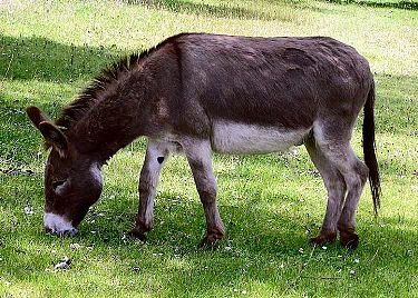 picture of a donkey